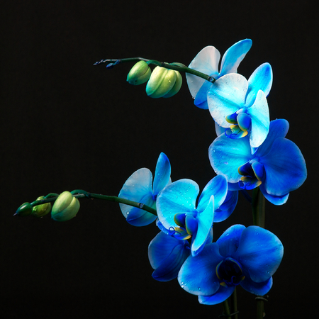 Blue Orchid - Königliche Familie in Studiolicht Standard-Bild - 31683042