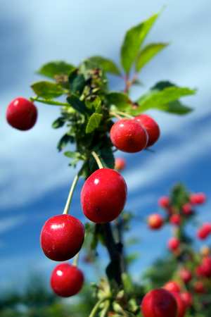 Red sweet cherries against the blue sky photo