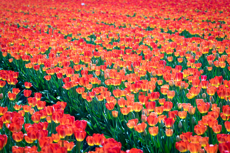 Tulips field Standard-Bild - 98561613
