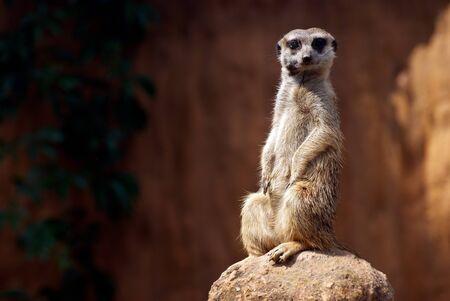 Standing African suricata