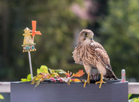 Falcon tinnunculus young in the city. Feeding._.