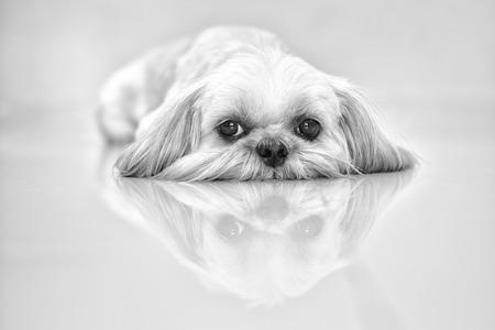 shihtzu: Shih-Tzu Dog Stock Photo
