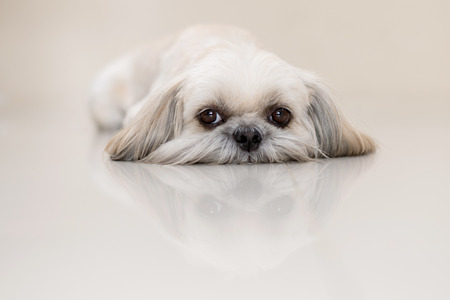 shihtzu: Shih-Tzu Dog Stock Photo