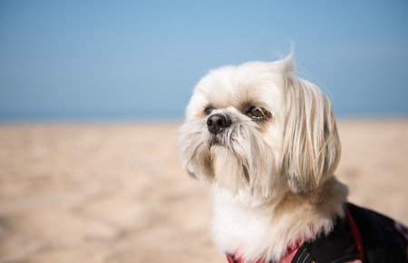 shihtzu: Shih-Tzu Dog On The Beach
