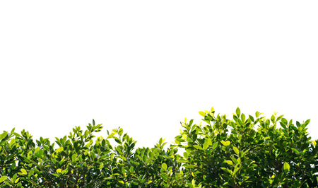 climbing plant: banyan green leaves isolated on white background Stock Photo