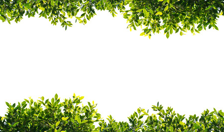 creeping plant: banyan green leaves isolated on white background Stock Photo