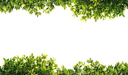 banyan groene bladeren geïsoleerd op een witte achtergrond Stockfoto