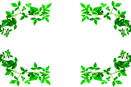 invasive plant: green leave edge on white background