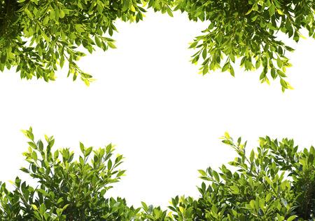 반얀 녹색에 격리 된 흰색 배경에 나뭇잎 스톡 콘텐츠
