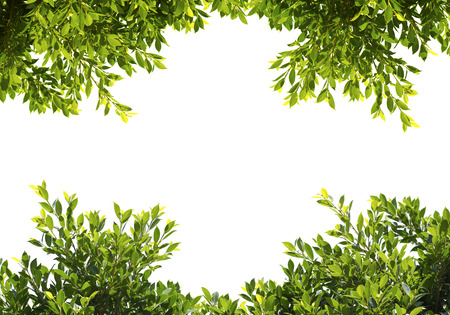 hojas antiguas: verde de higuera deja aislada sobre fondo blanco