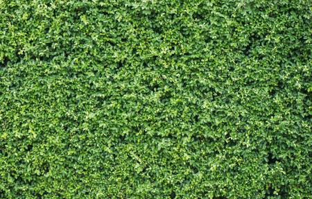 green wall: Banyan leaves green wall background