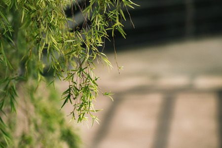 weeping willow: weeping willow trees over path Stock Photo