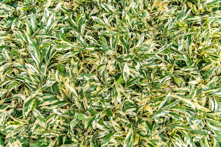fragilis: Variegated Leaves background