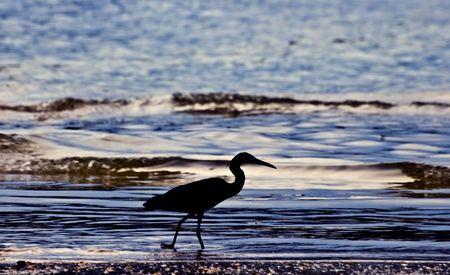 Little blue heron silhouette (Egretta caerulea) Stock Photo - 6856050