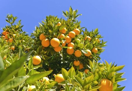 orchards: Ripe oranges hanging on a tree on a sunny day Stock Photo