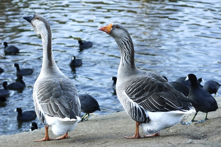The Greylag geese (Anser anser) and American Coots (Fulica americana) standing near pond  photo
