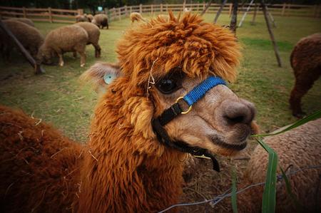 alpaca: Alpaca face