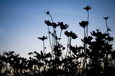 Silhouettes of flower in meadow field before sunset
