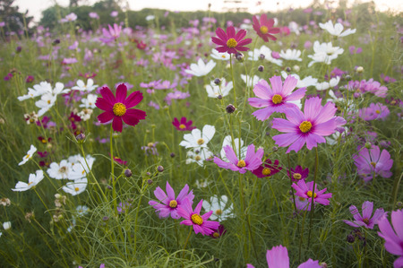 Pink, purple and white cosmos in meadow field. Fresh and romantic outdoor scene with warm colored tone.