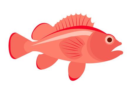 Sea bass fish illustration. Sea bass on white background. Perch fish illustration.