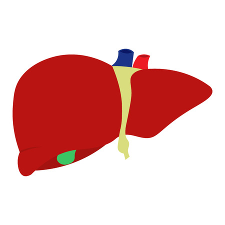 vector human liver, Isolated on white background
