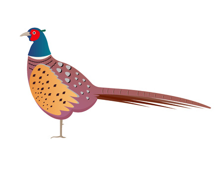 wildlife shooting: pheasant vector illustration. pheasant isolated on white background Illustration