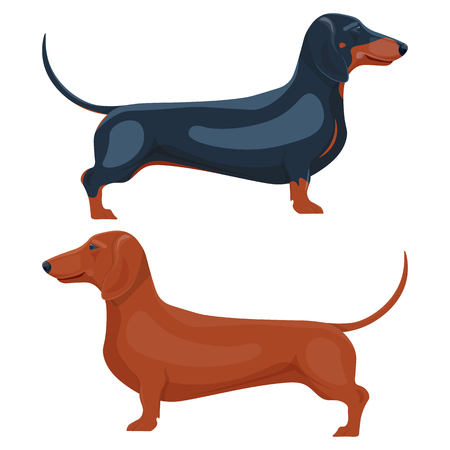 dachshund pet vector illustration isolated on a white background