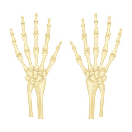 hand bones: hand bones vector illustration isolated on a white background