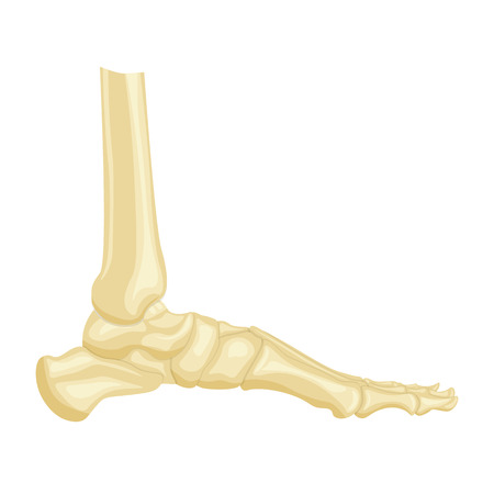 navicular: foot bone anatomy side view vector illustration isolated on a white background