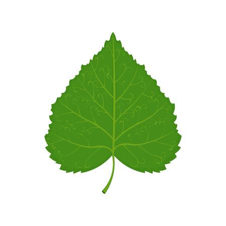 linden: green linden leaf illustration isolated on a white background