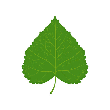 green linden leaf illustration isolated on a white background