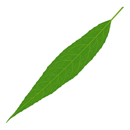 Green willow tree leaf illustration isolated on a white background