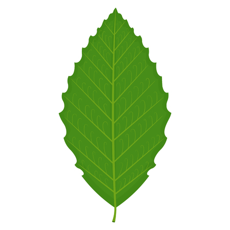 ironwood: Beech leaf illustration isolated on a white background