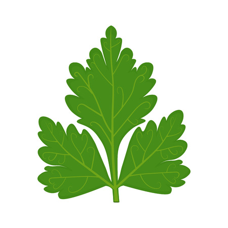 potherb: Parsley leaf illustration isolated on a white background Illustration