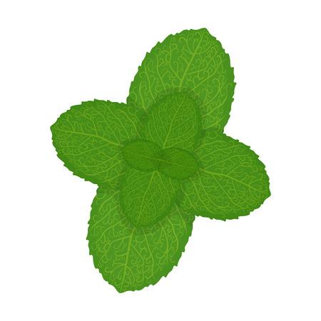 Fresh mint leaves, illustrationFresh mint leaves, illustration isolated on a white background