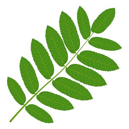 Green Rowan leaf illustration isolated on a white background Illustration