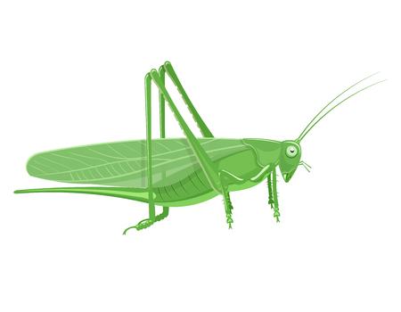 Grasshopper Cartoon illustration isolated on a white background Illustration