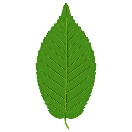 Green Hornbeam leaf illustration isolated on a white background