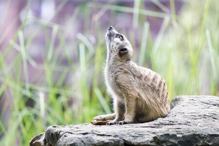 herpestidae: Meerkat