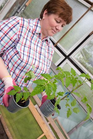 Pull tomato plants Themselves Reklamní fotografie - 55317412