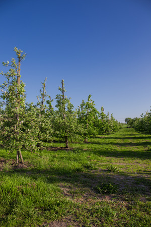 Apples in Altes Land