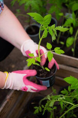 crecimiento planta: Tire de plantas de tomate propios