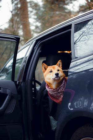 Een hond van het ras Shiba Inu zit op de achterbank in de auto