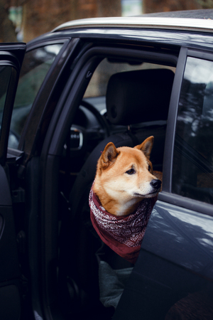 A dog of the breed shiba inu sits on the back seat in the car Reklamní fotografie