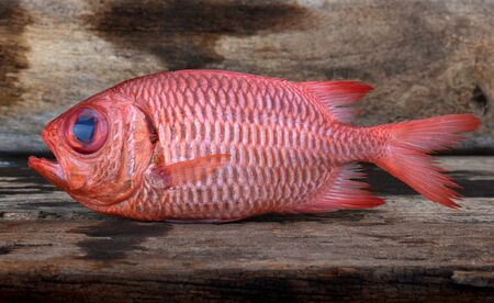 fresh Pinecone soldierfish for cooking from asian fishery market photo in daylight time show big eyes and pink scales. Stock Photo