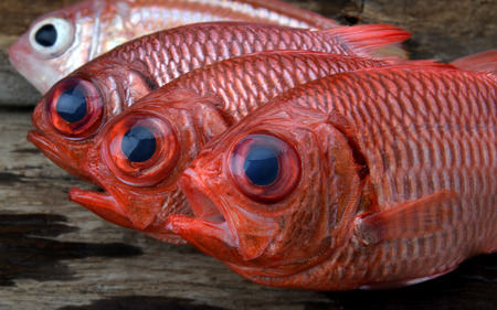 fresh Pinecone soldier fish for cooking from asian fishery market photo in daylight time show big eyes and pink scales.