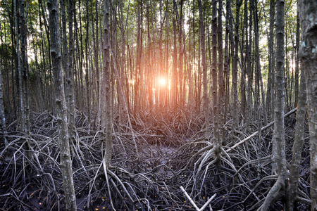 The mangrove forest in the wetland of Thailand coast photo with outdoor very low and dark lighting in evening sun set  time.