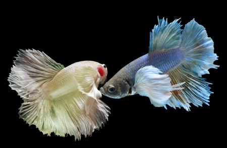 Betta or Saimese fighting fish swiming and show the motion of dress fin photo in flash studio lighting. Stock Photo