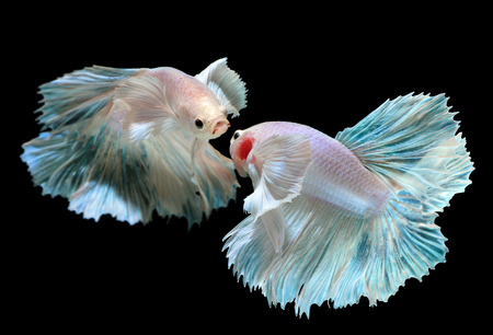 Betta or Saimese fighting fish swiming and show the motion of dress fin photo in flash studio lighting. Stock Photo
