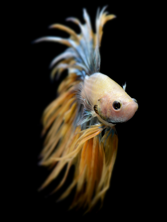 Crowntail Betta or Saimese fighting fish swiming and show the motion of dress fin photo in flash studio lighting.